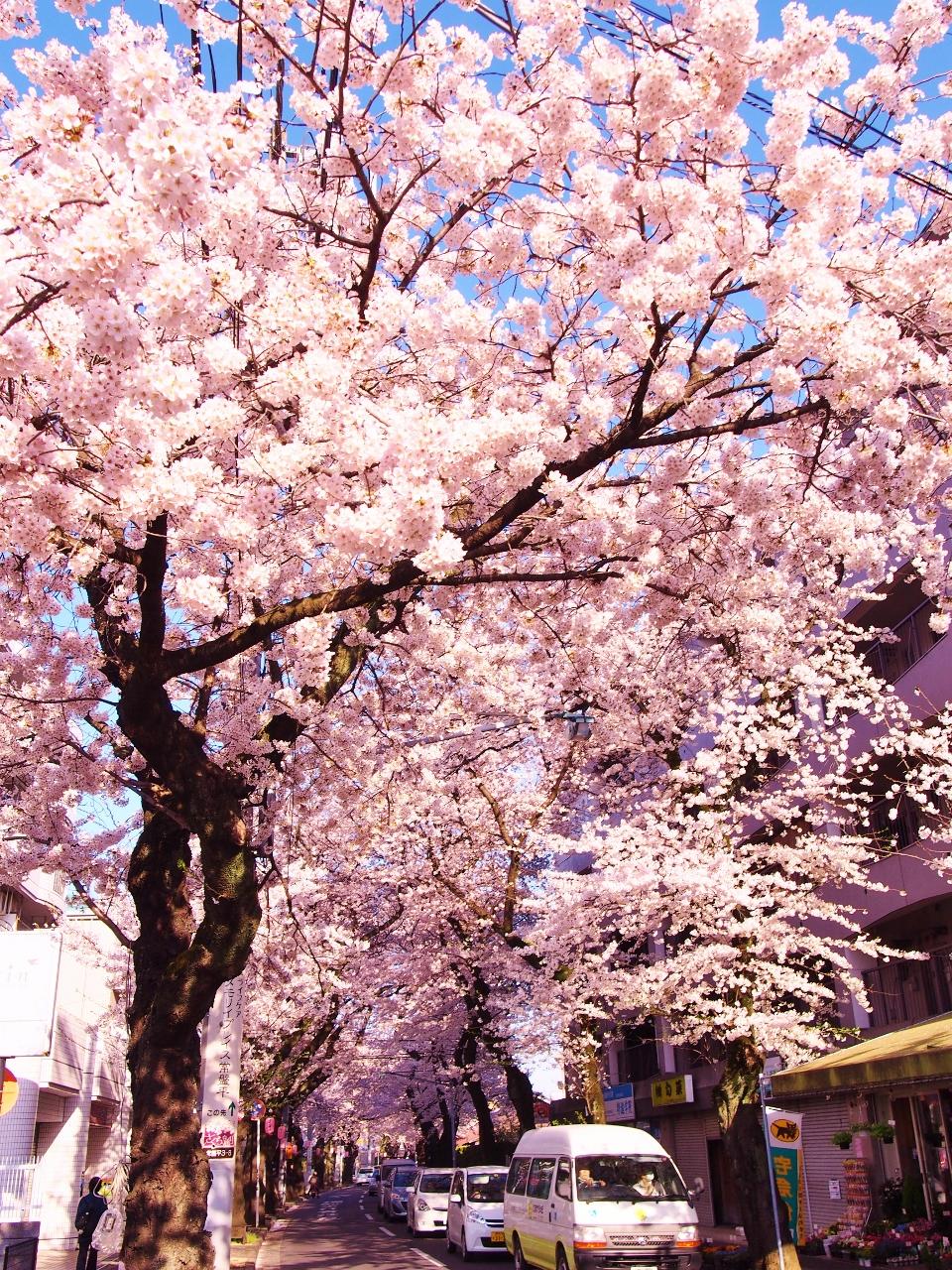 さくら通り春